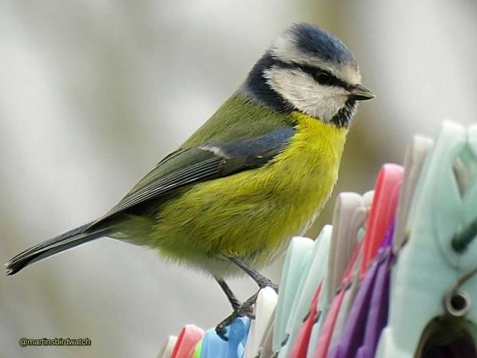 martinsbirdwatch bluetit