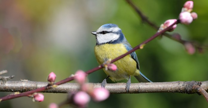 garden-bird-friendly-bluetit-in-spring