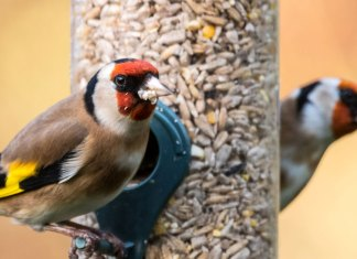 goldfinch feeding on feeder