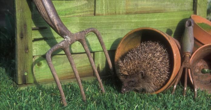 Hedgehog roaming around a garden