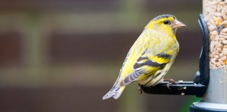 yellow bird sitting on a bird feeder full of sunflower hearts