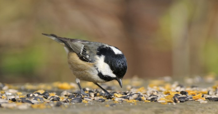 A coal tit enjoys eating sunflower hearts amongst other seeds