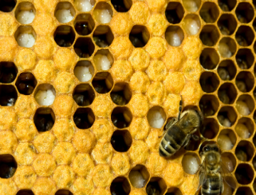 Check out this TED videoa for some amazing insight on bees. ©iStockphoto.com/stachu343