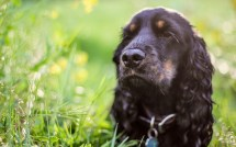 Cocker Spaniel Dog Wallpapers Archives