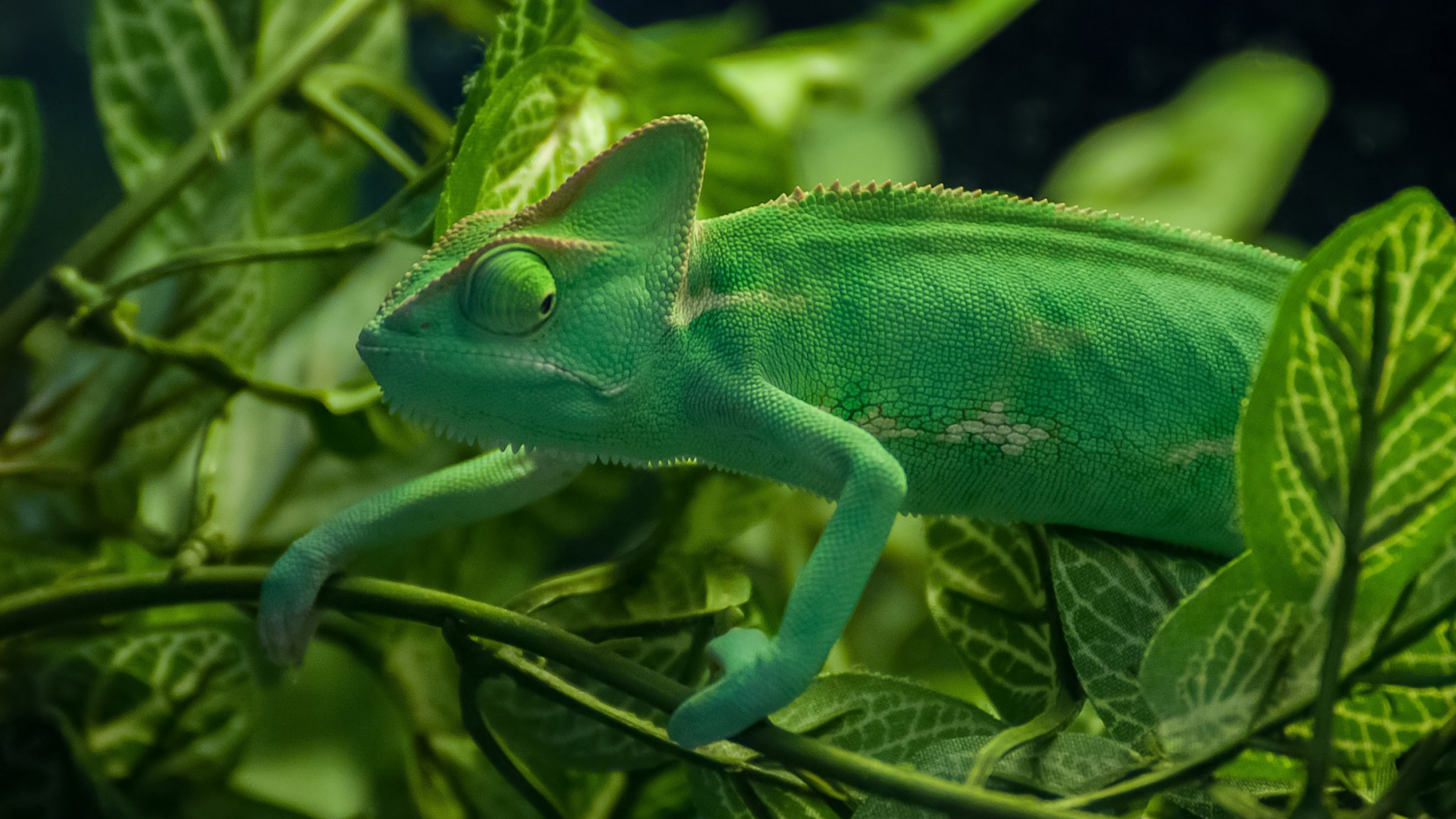23 HD Chameleon Wallpapers  HDWallSourcecom