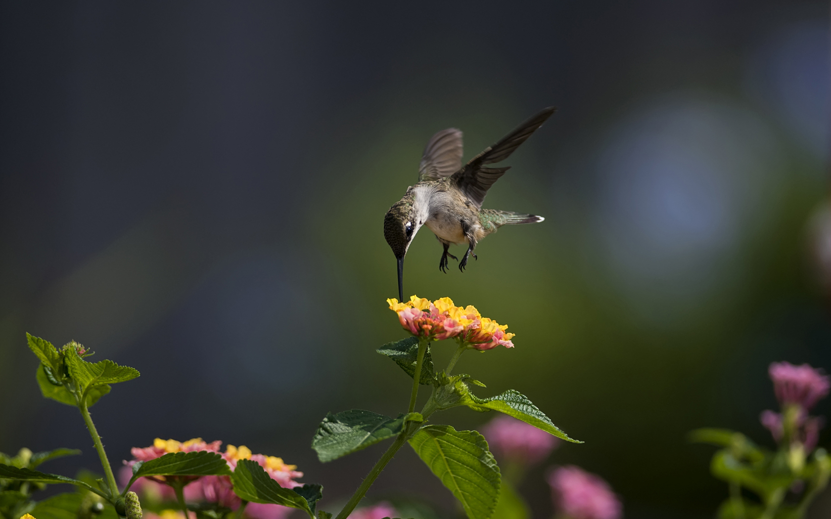 21 Lovely HD Hummingbird Wallpapers