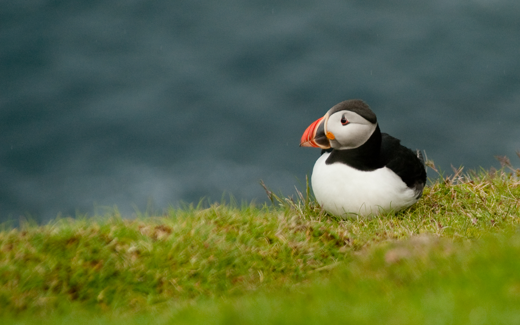 Cute Baby Animal Wallpapers Desktop 26 Stunning Hd Puffin Bird Wallpapers Hdwallsource Com