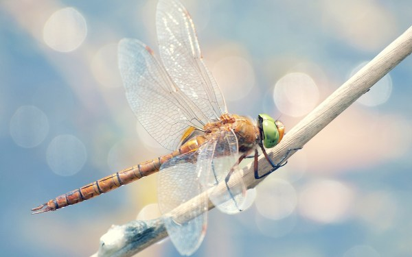 Fantastic Hd Dragonfly Wallpapers