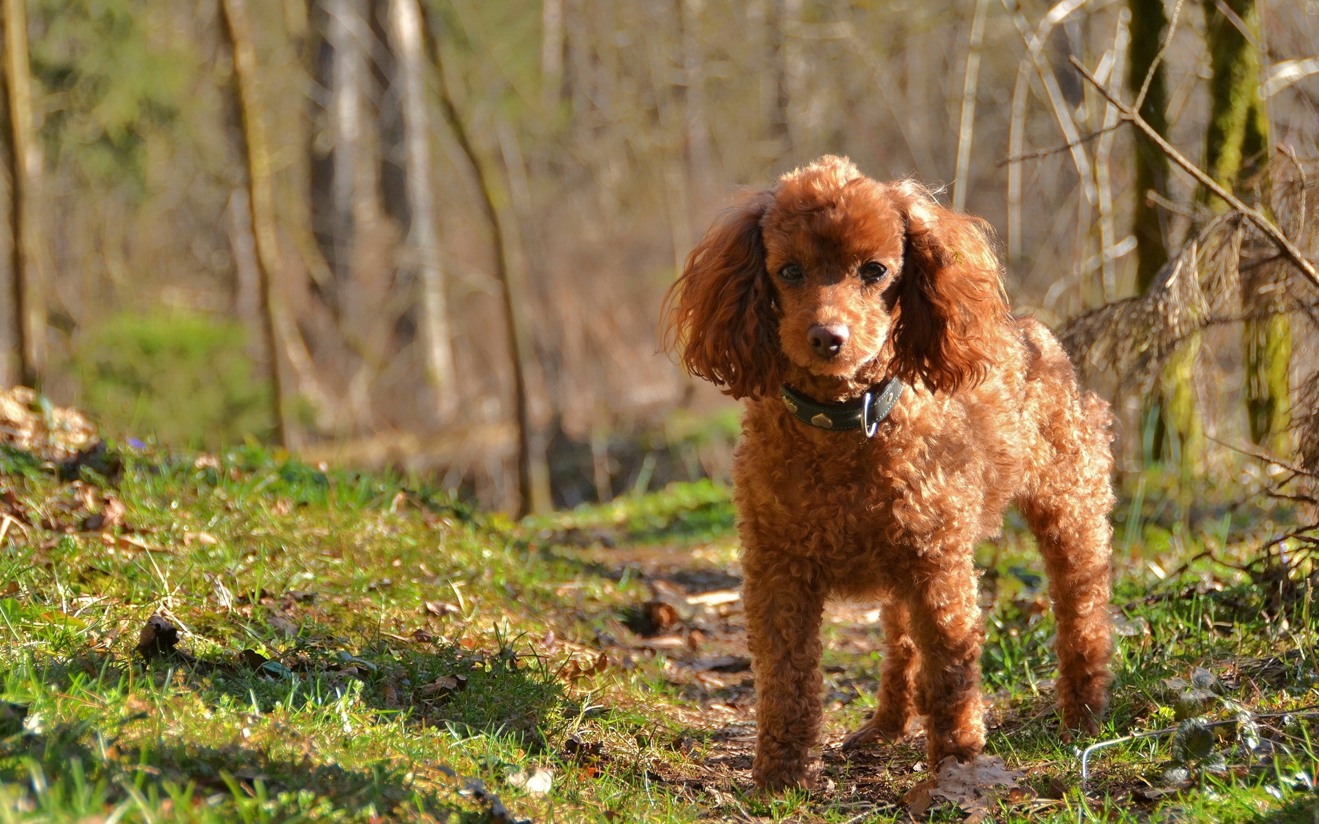Cute Dogs Full Hd Wallpapers 14 Hd Poodle Dog Wallpapers