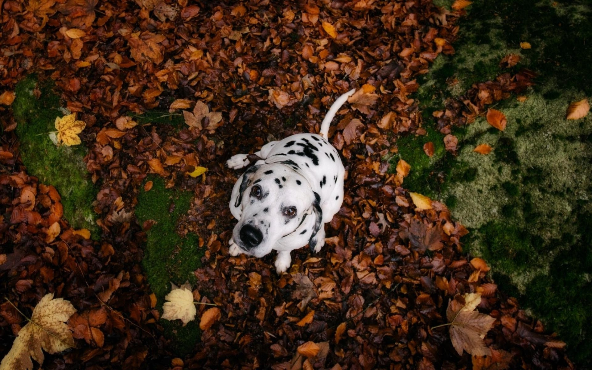 Fall Trees Wallpaper 22 Hd Dalmatian Dog Wallpapers