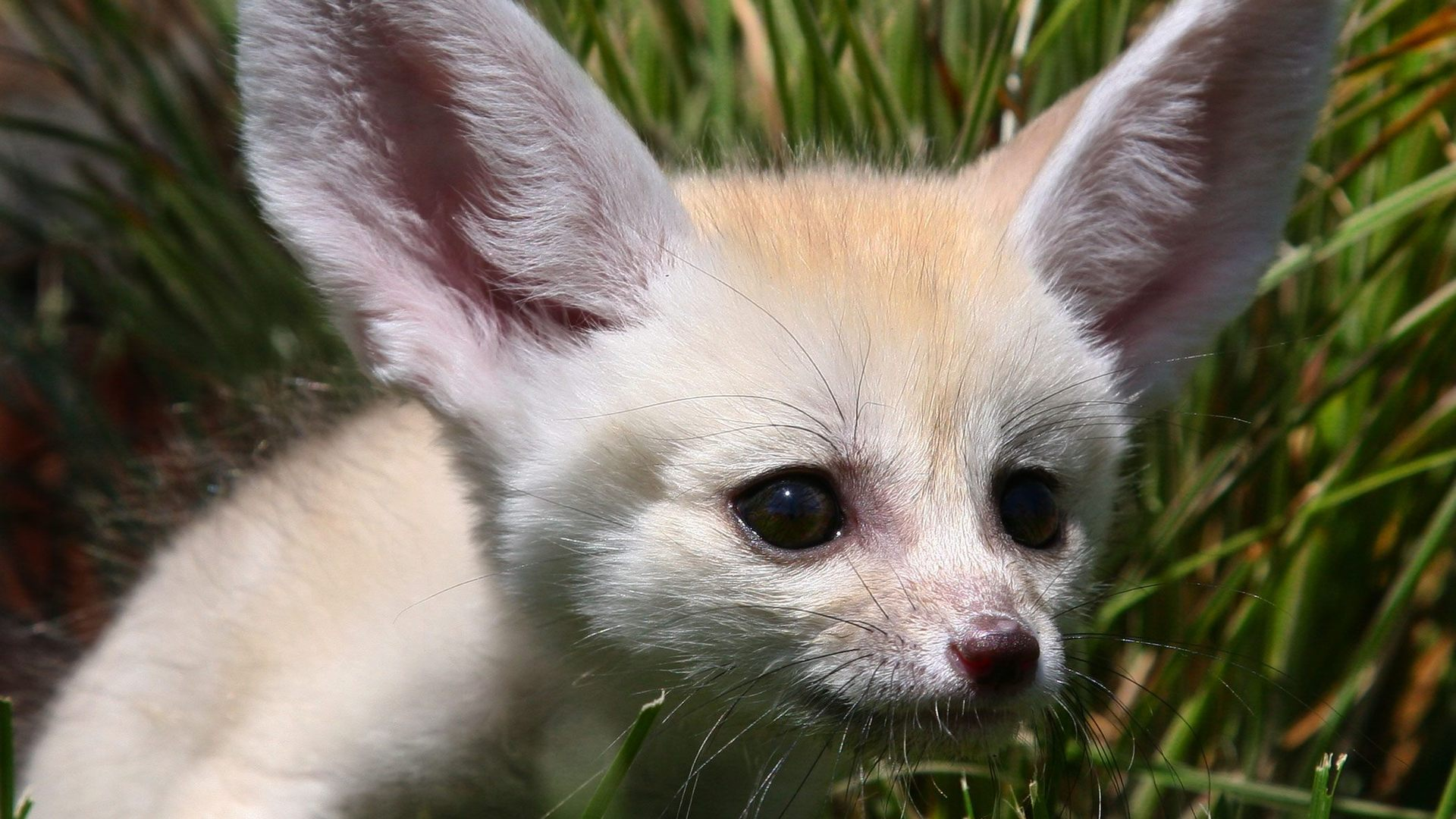 Cute Baby Hd Wallpapers For Desktop 13 Excellent Hd Fennec Fox Wallpapers