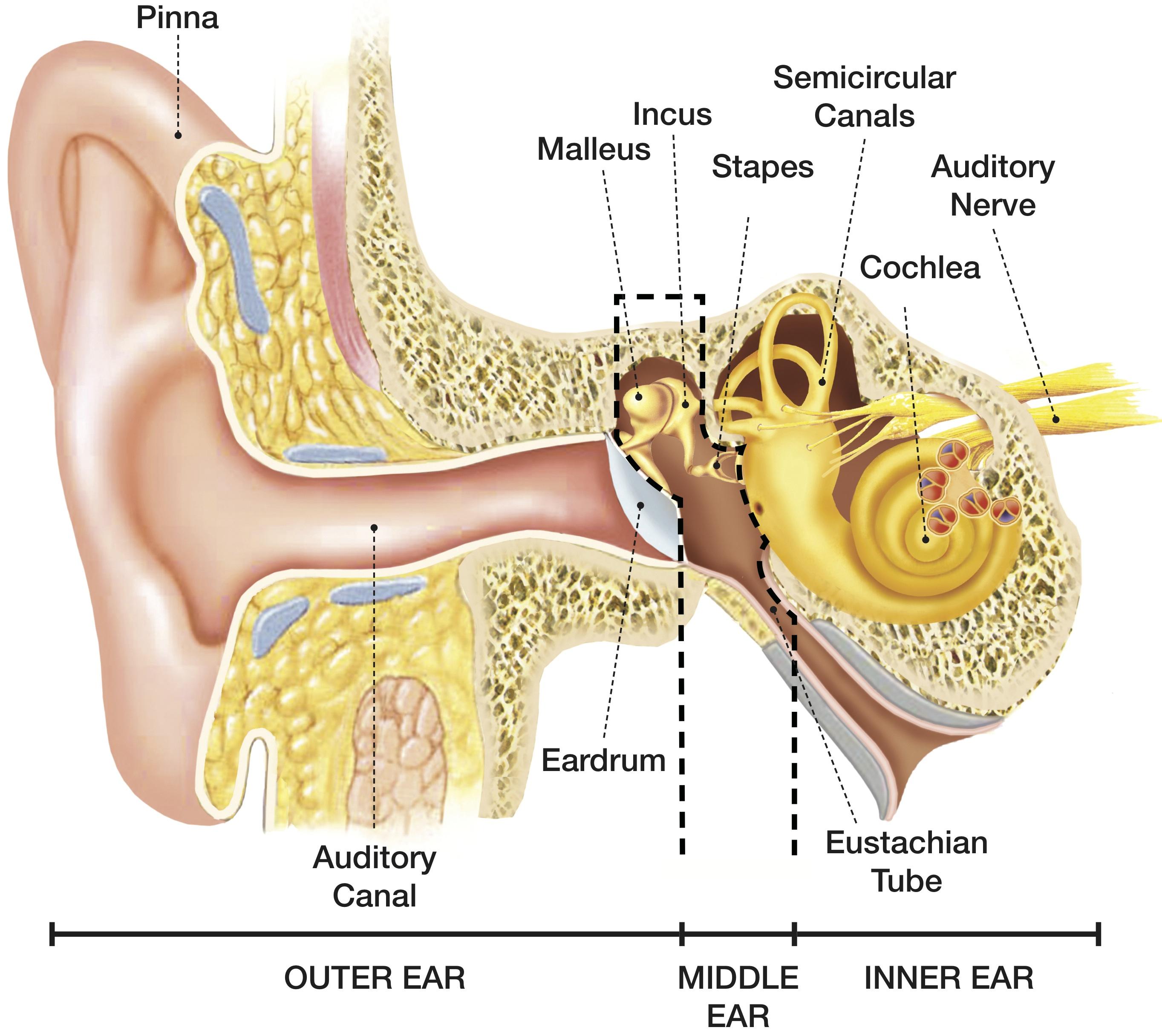 stapes anatomy diagram kidde smoke and carbon monoxide alarm wiring how we hear hearing associates inc
