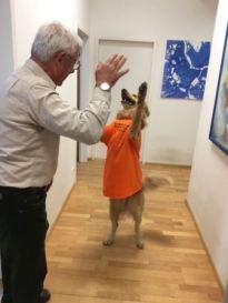 Bürohund Charming im Hollandfieber