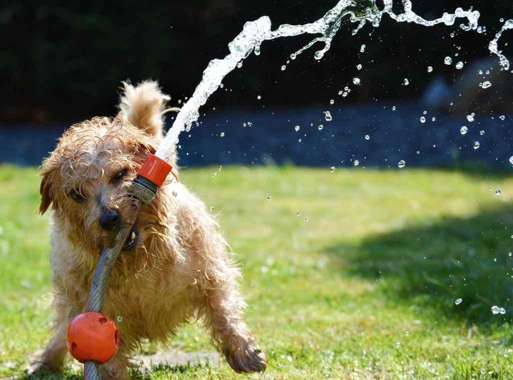 Beim spielen mit dem Wasserschlauch schluckt der Hund viel Wasser.