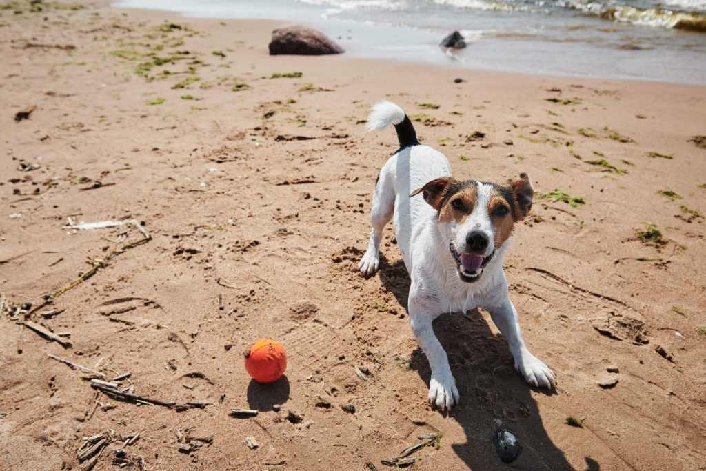 Ballspielen am Strand mit kleinem Hund.