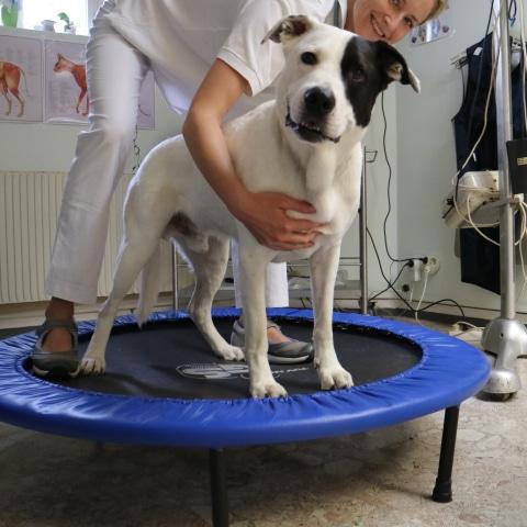 Durch die Physiotherapie können die Schmerzen des Hundes gelindert werden.