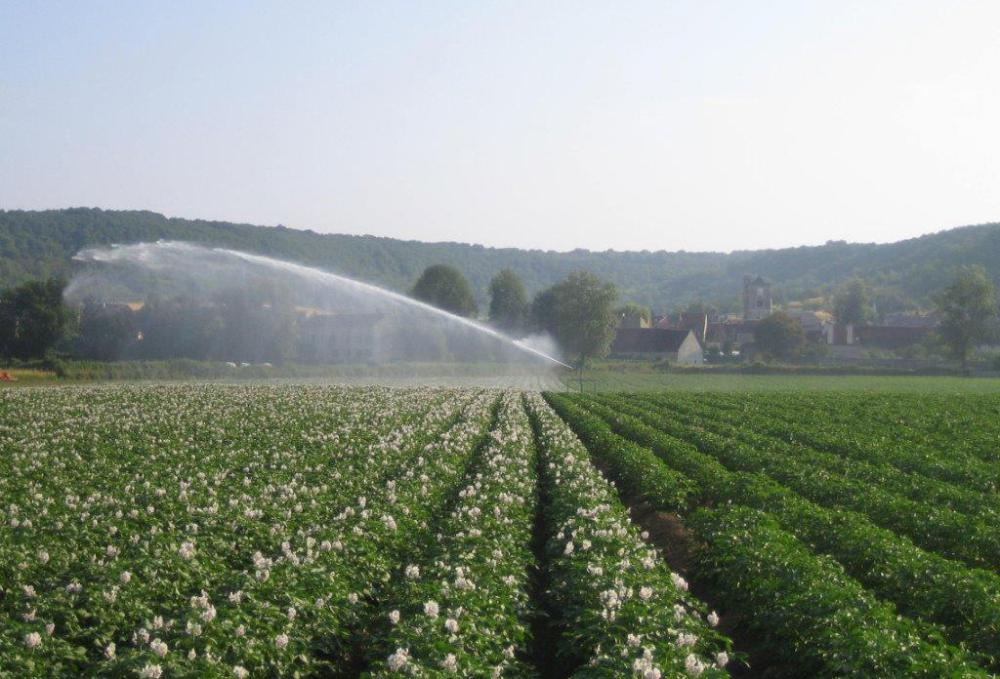 Roseval aardappelveld