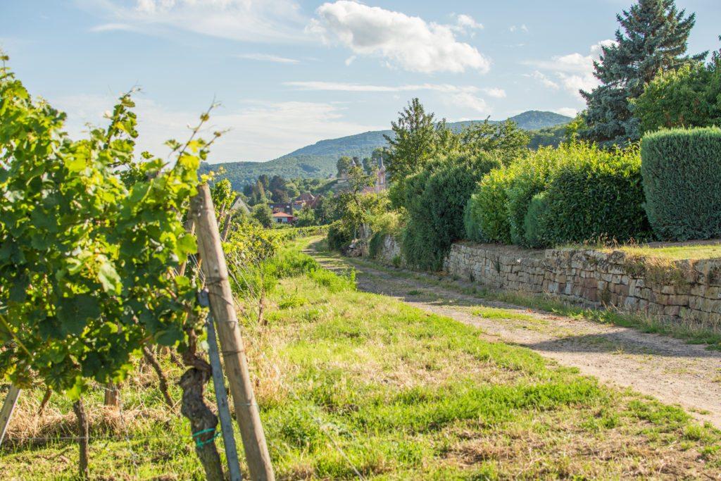 Kulinarisch unterwegs auf der Deutschen Weinstraße: Weinreben in Neustadt
