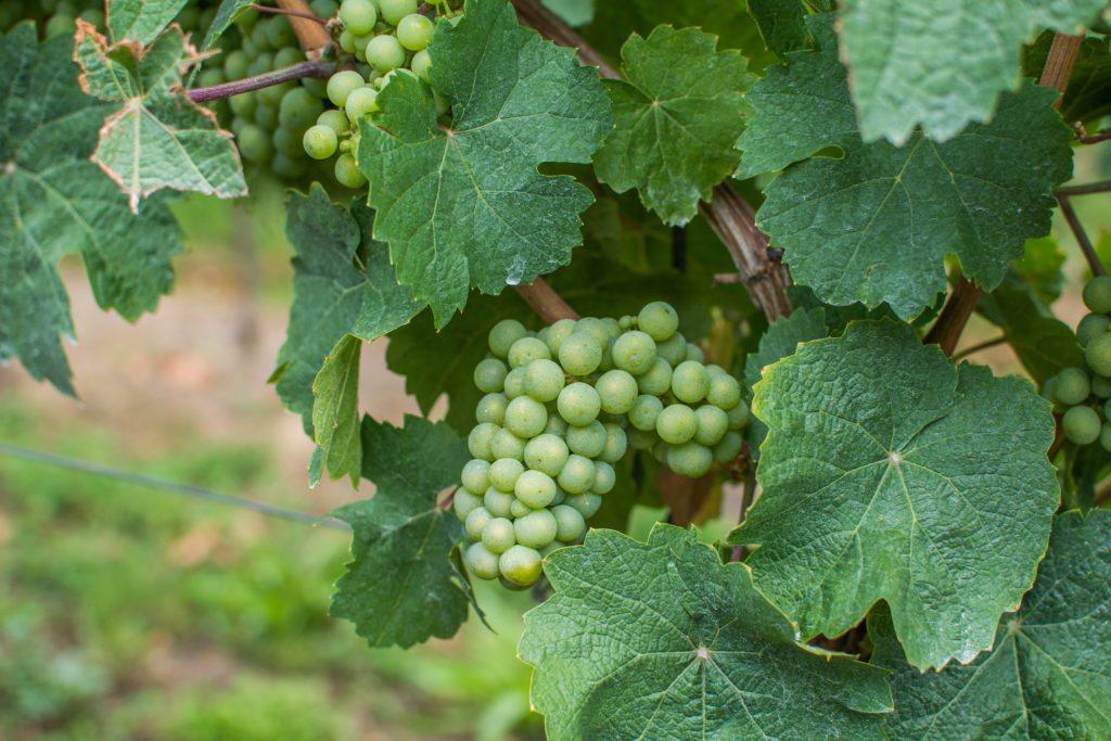 Kulinarisch unterwegs auf der Deutschen Weinstraße: Weinreben in Deidesheim