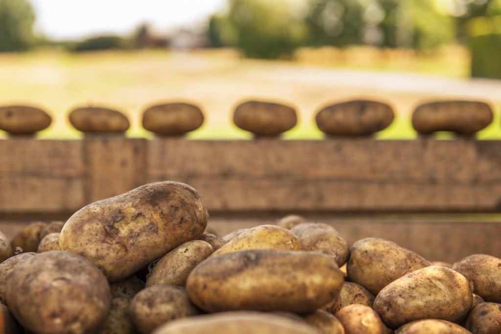 Kartoffeln gibt es in jeder Größe und Form