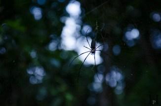 20120516-175306-Australien, Daintree Nationalpark, Jindalba Walk, Spinne, Weltreise-20120516-175306-Australien-Daintree-Nationalpark-Jindalba-Walk-Spinne_DSC2518