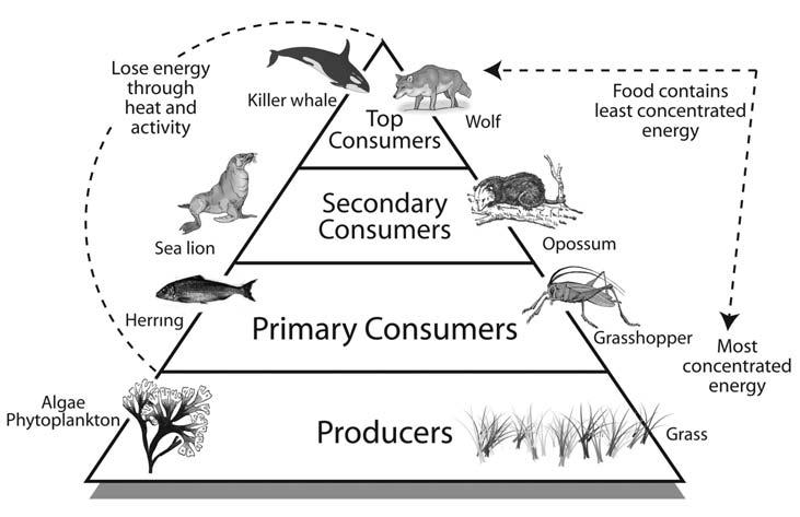 Food chains link the creatures of coastal ecology