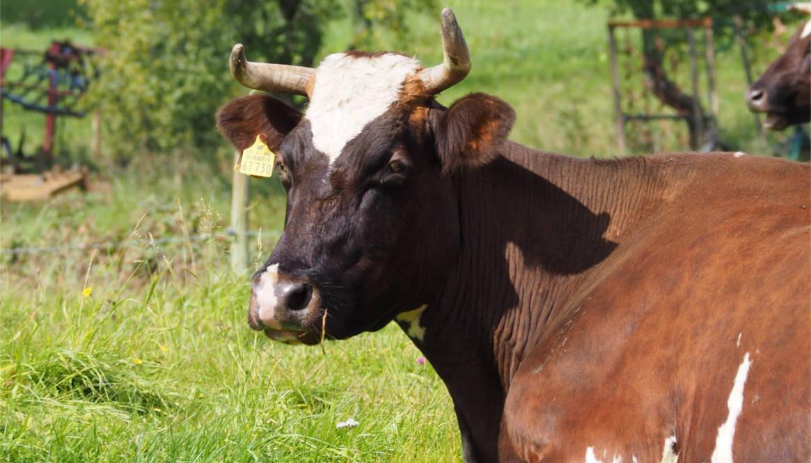 Charakterköpfe 1: Wie man Kühe sieht