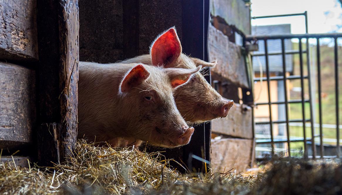 schweine, schwein, massentierhaltung, bauernhof, podcast, agrarblogger, hofhuhn,