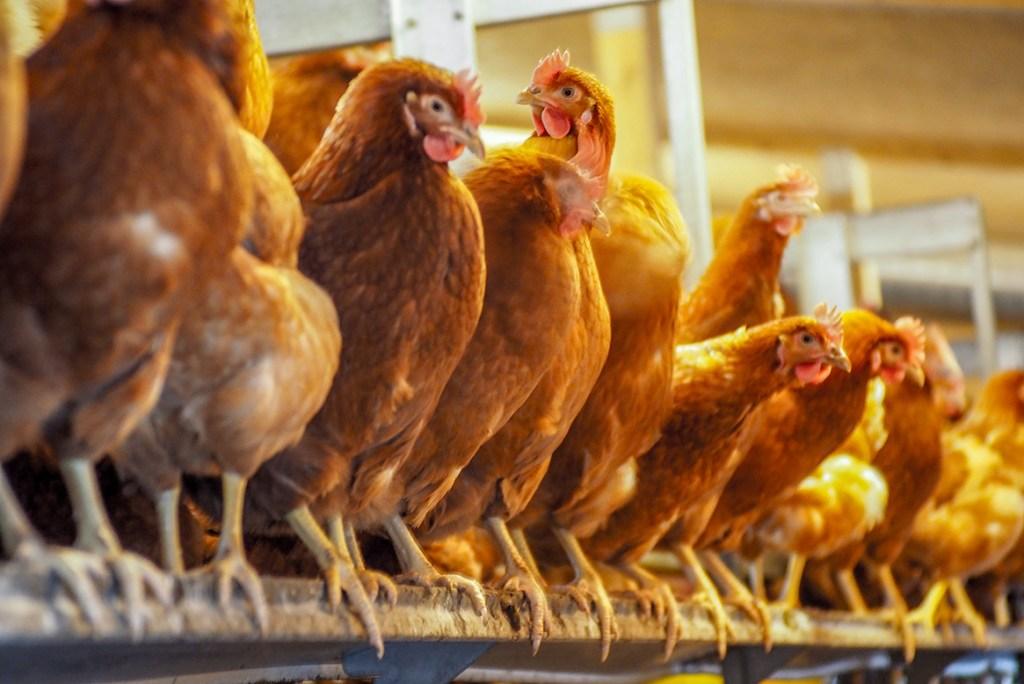 Trinken Sie viel Wasser, um Hühner zu verlieren oder zu mästen