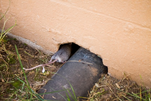 rat in hole, keep rats out