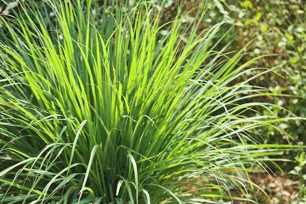 citronella grass keeps mosquitos away