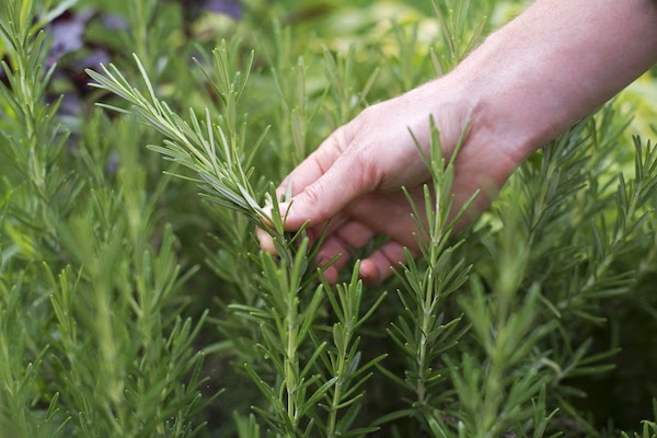 rosemary keeps mosquitos away