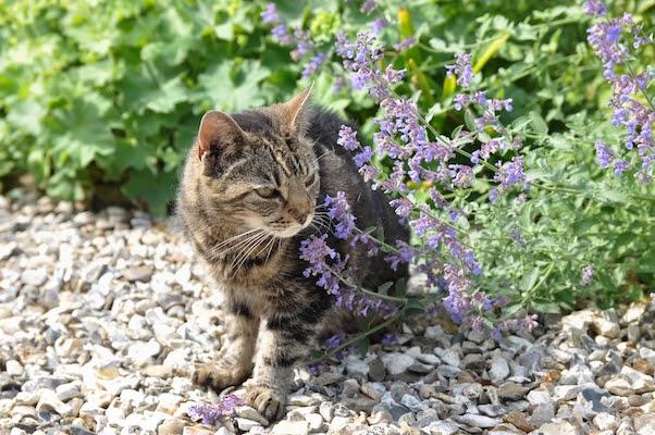 catnip keeps mosquitos away
