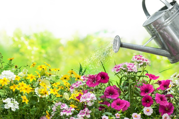 watering can over annual flowers
