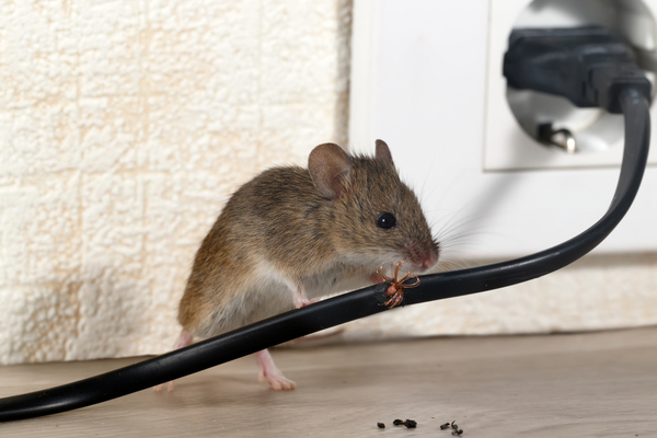 mouse chewing through wire