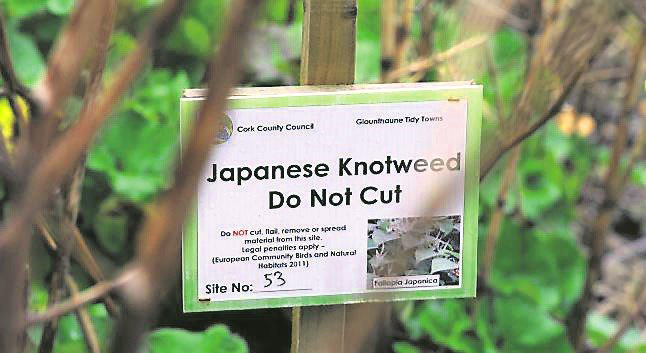 Japanese Knotweed Sign
