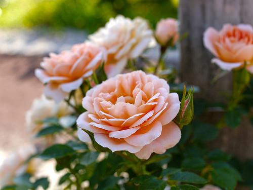 Roses in a garden in June.