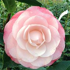 Desire Camellia