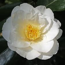 Lovelight Camellia