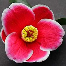Tama-No-Ura Camellia