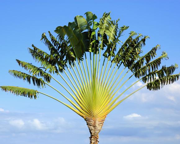 Jardin des plantes de Nantes journe spciale arbre du voyageur