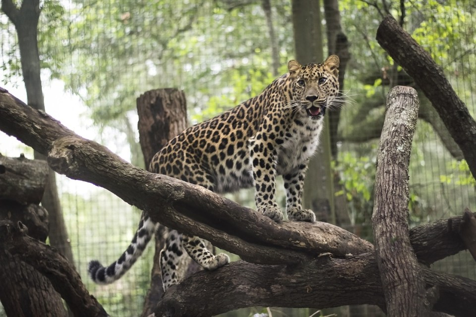 Leopard standing on a tree branch inside of the Jacksonville, Florida Zoo