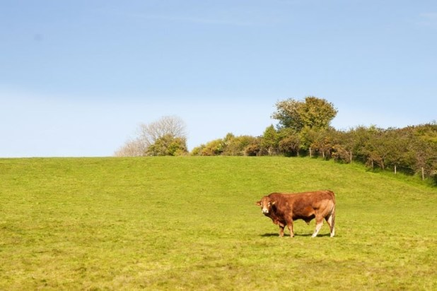 bull towards right of field, asymmetrical and an example of rule of thirds