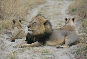 Cecil the lion with his cubs.