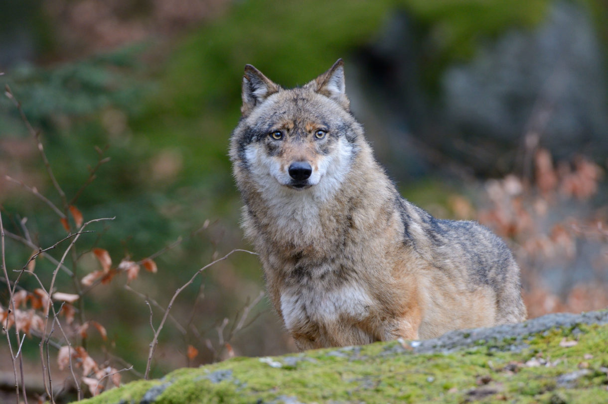 Time to end the era of aerial gunning of wolves