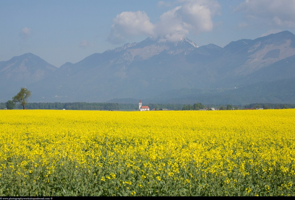rapeseed field in Brnik with Kamnik Alps in the background, Slovenia.