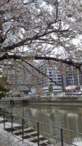 鍼灸マッサージの疲れも飛ぶ桜吹雪