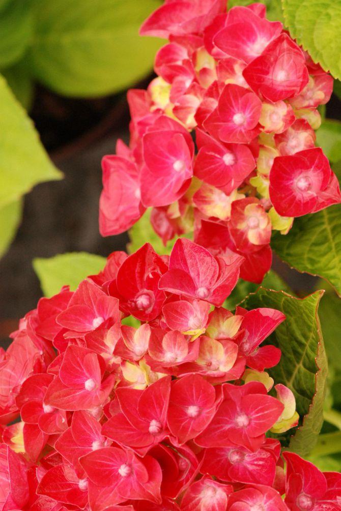 Comment Avoir Des Hortensias Rouges : comment, avoir, hortensias, rouges, Hortensias, Quand,, Comment, Planter, Entretien, French, Garden