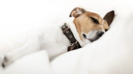 Jack russell terrier sleeping on pillow
