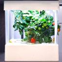 トマトの育て方 ミニトマトの室内栽培